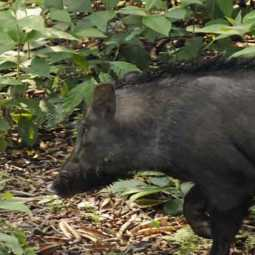 Permission to shoot wild boars