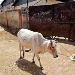 cow in himachal feed with cracker filled food