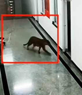 Leopard caught on medical college campus ... CCTV!