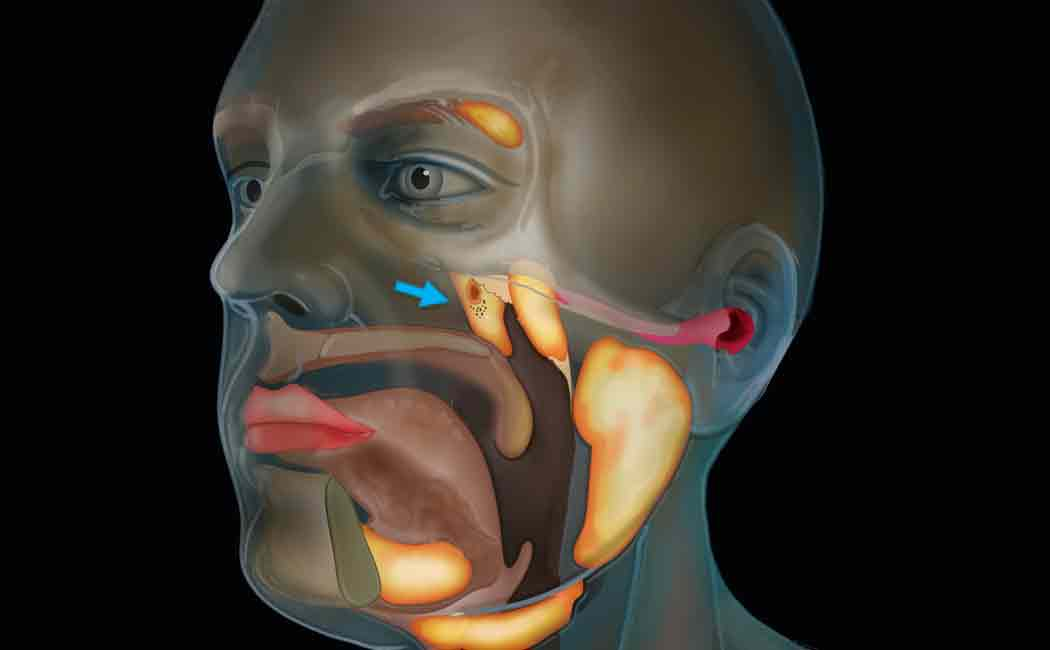 scientists find tubarial salivary glands
