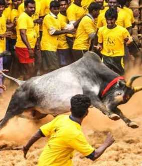 jallikattu competition madurai district avaniyapuram