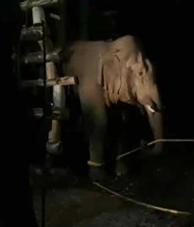 5 Kumki elephants .. 7 day struggle ... broken horn Shankar!