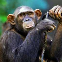 Chimpanzee and Devak in the clutches of the enforcement department