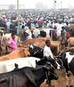 Famous cattle trade slowed down by second wave of Corona