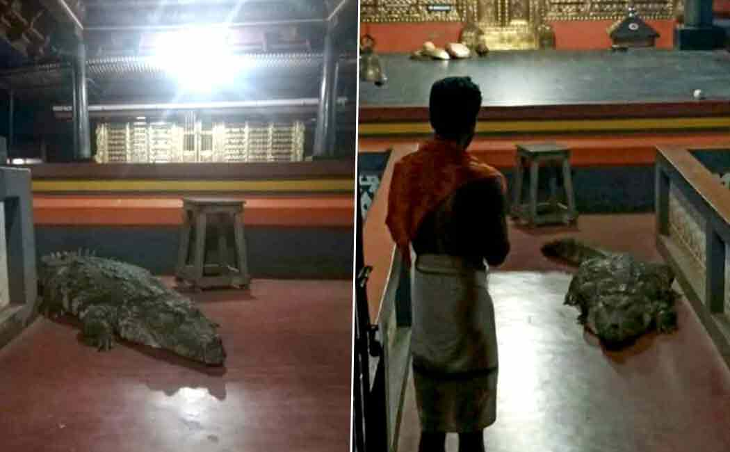 babiya crocodile enters temple for first time