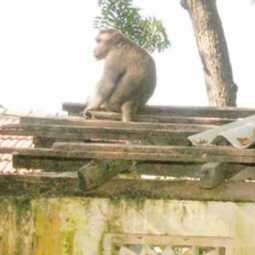 The monkey that lifted the  baby in thanjai