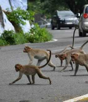 salem district yercaud monkeys forest department