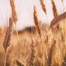 Wheat purchases more than paddy in India - DMK MLA