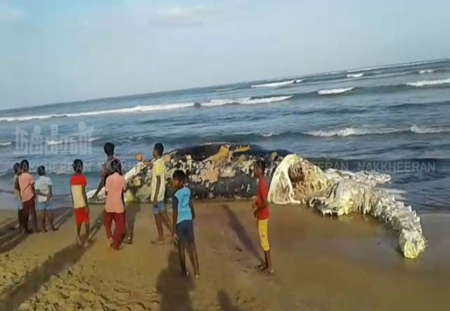 nellai district near Uwari The whale shore is secluded fishermen shocked