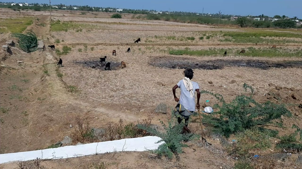 Delta in the clutches of the drought; Cattle without water; Farmers in worry !!