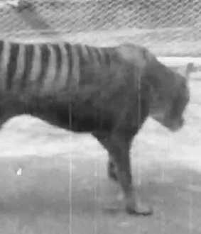 tasmanian tiger video goes viral