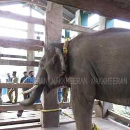 'arisi Raja' in Karol -  project as a  change to pet elephant!