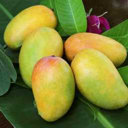 indian mango case in dubai