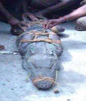Chidambaram area villages that become a tent of crocodiles