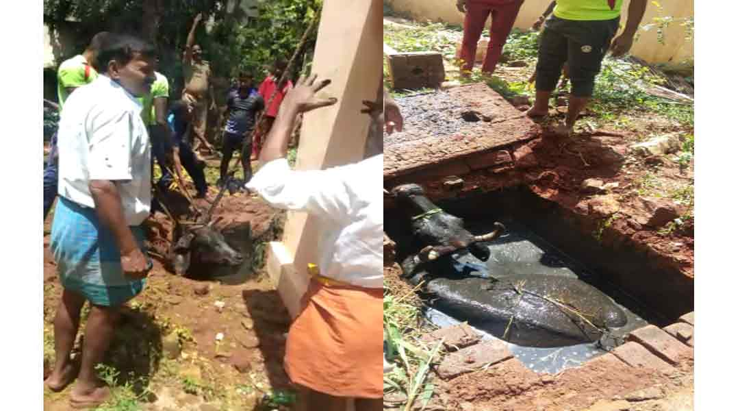 Rescue of cow is into a sewage tank near Coimbatore