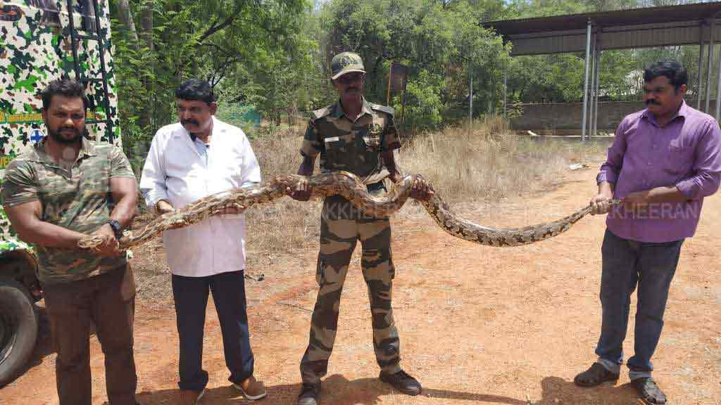 A seven-year-old python caught with 30 eggs in nellai