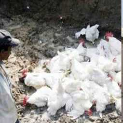 Echo of bird flu... Kerala chickens in Tamil Nadu border villages!