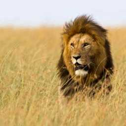 malnutritious lion passed away in sudan