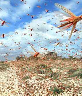 locusts problem in pakistan