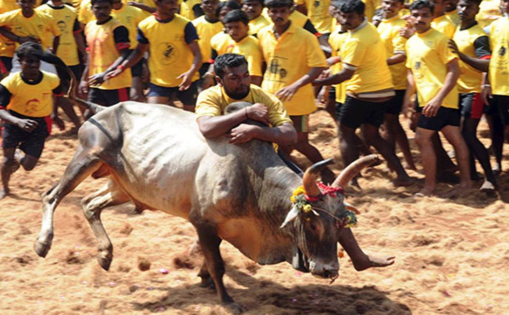 Pongal Celebration - Jallikattu