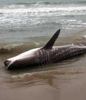 Whale stranded off the coast of Pondicherry