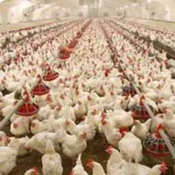 usa chickens imported Livestock and Agricultural Farmers Trade Association