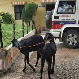TELANGANA  Two goats were arrested by the police for eating the plants