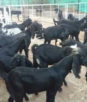 Goats sold for Rs 1 crore in three hours!