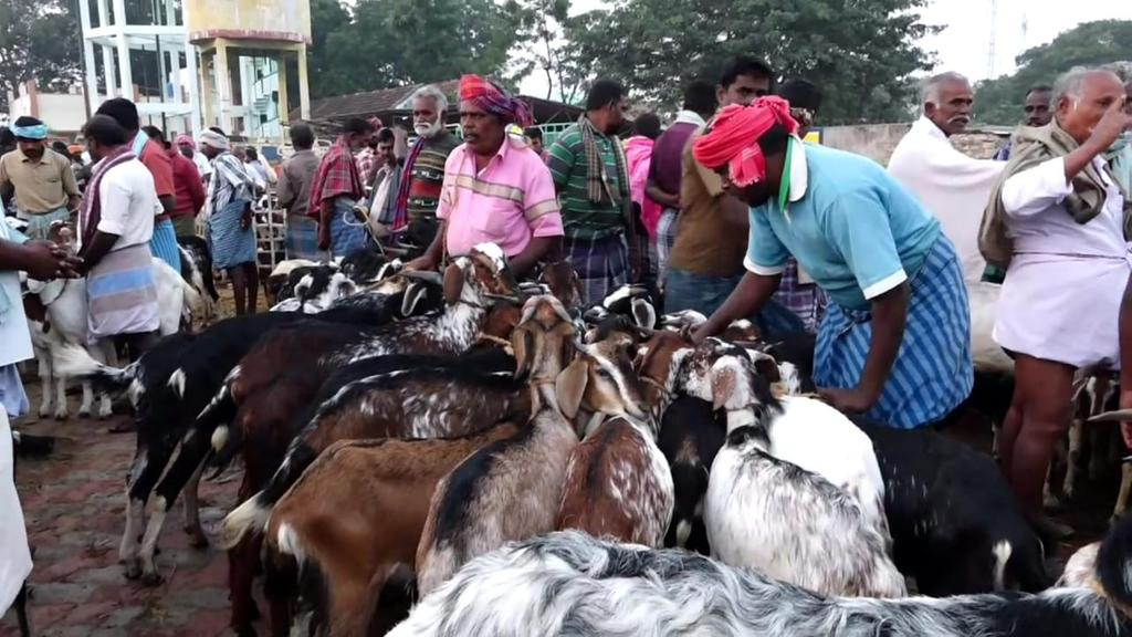 Goats sales for Rs 5 crore for Pongal Festival .. !!!!
