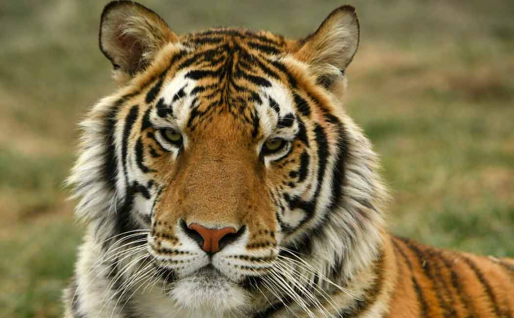 malaya tiger in usa tested positive for corona