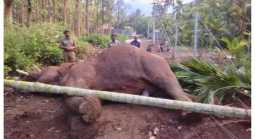 wild elephant died in electric power