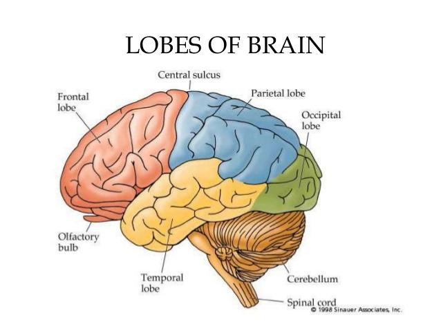 brain cell as toddler