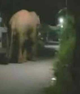 Wandering wild elephant ... Warning to the public