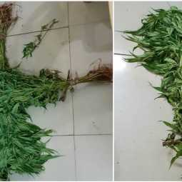 Youth addicted to cannabis near dindigul