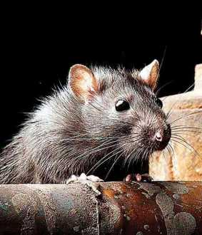 rats nibbled body in indore hospital