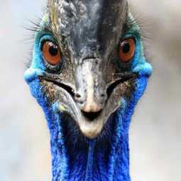 cassowary bird attacked its owner