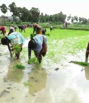 Planting work started in Delta ...  Women planting folk songs