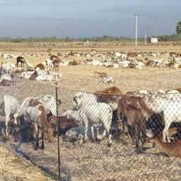 Indigestion problem for sheep near tuticorin