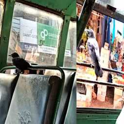 The crow who traveled in the bus with the passengers!