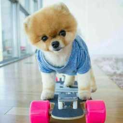 pomaranian dog named jiffpom becomes instagram celebrity