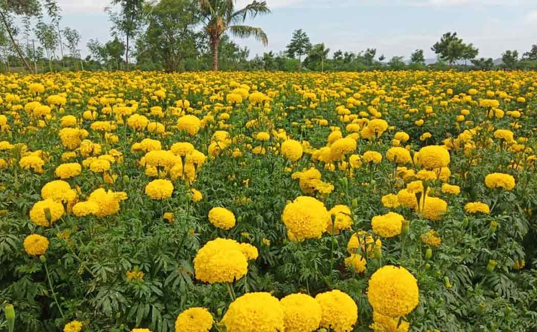 Exports of flowers affected due to continuous rains!