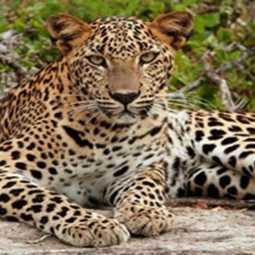Sathyamangalam incident - Leopard-Dog issue
