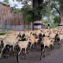 milk van - 20 sheeps - incident- thiruvanamalai