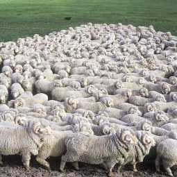 71 sheeps as compensation for a girl