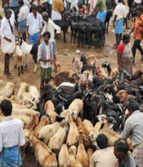 Goats for sale for 2 crore at Ulundurpet market ahead of Pongal