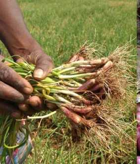 Onions that make the poor, rich, and born as a farmer shed tears!