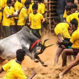 jallikattu in salem district
