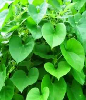 giloy herb benefits and uses