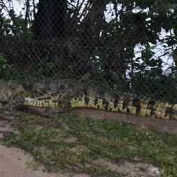 The big crocodile that crossed the Annamalai University Road ...
