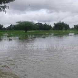 The 500-acre paddy field that was submerged in rainwater by continuous rain